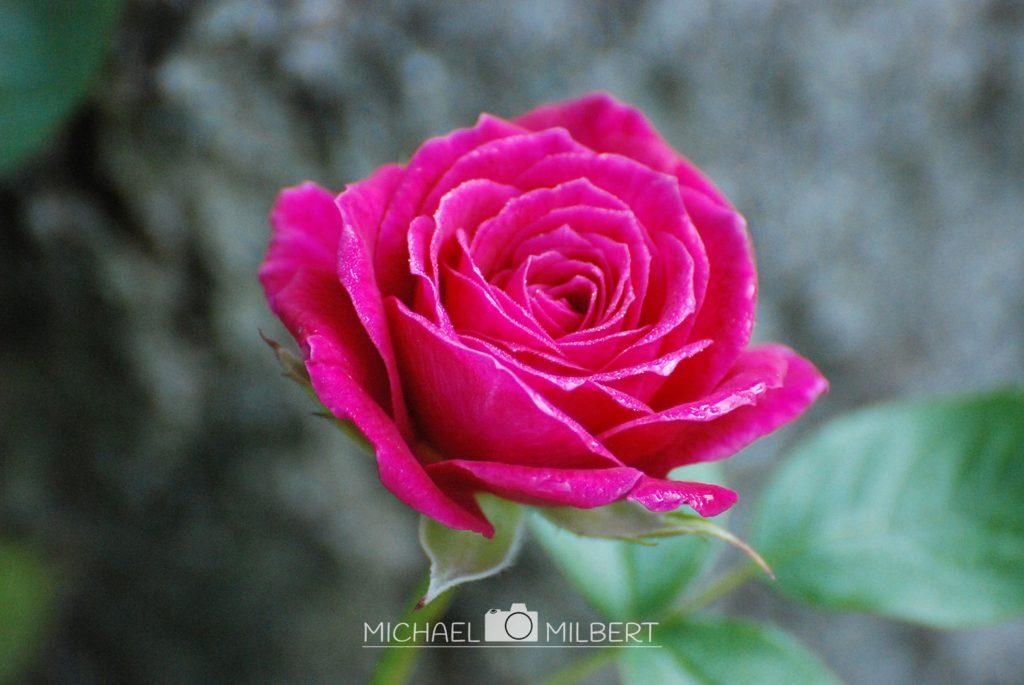 Rose am Baum