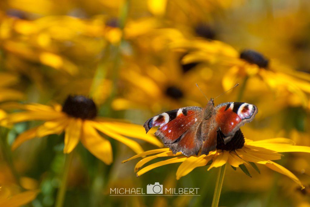 Schmetterling - Pfauaenauge