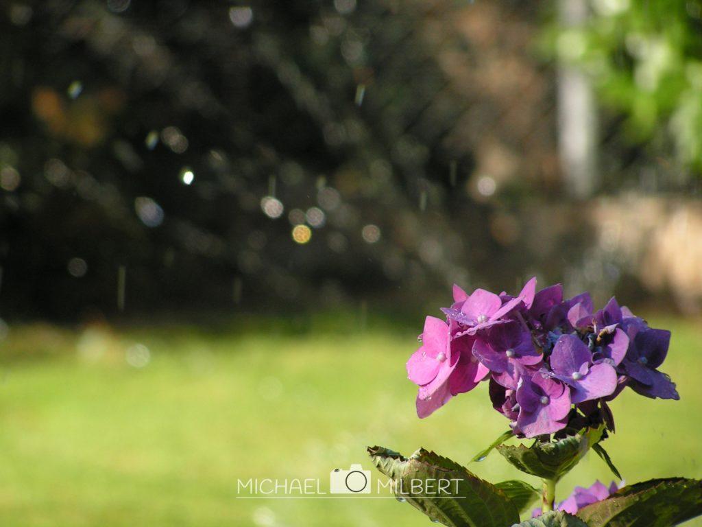 Hortensienstrauch